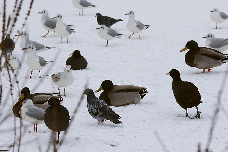 Möwen, Enten, Rallen und Tauben im Schnee