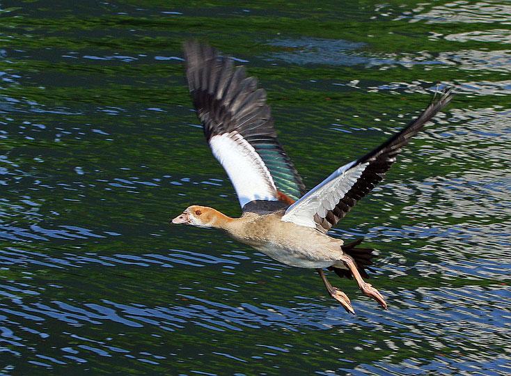 Nilgössel beim Übungsflug über dem Wasser