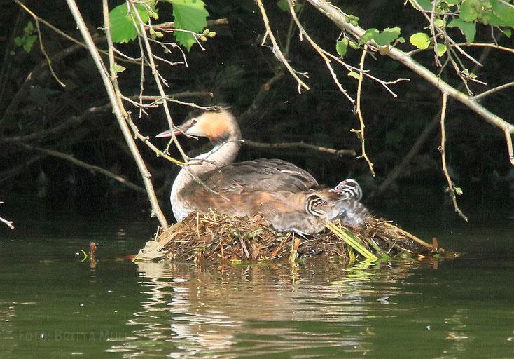 Die geschlüpften Küken liegen am Nestrand. Der Altvogel sitzt noch auf Eiern!