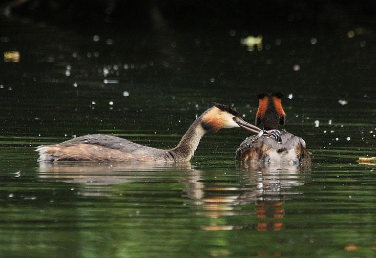 Der Nachwuchs wird mit Mini-Fischchen gefüttert.