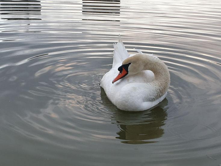 Ein Höckerschwan auf dem City-See!