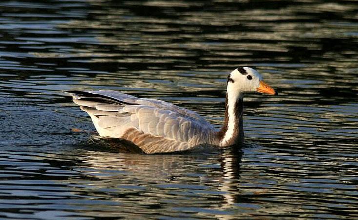 Streifengans im Wasser - man beachte die Streifen an Kopf und Hals.