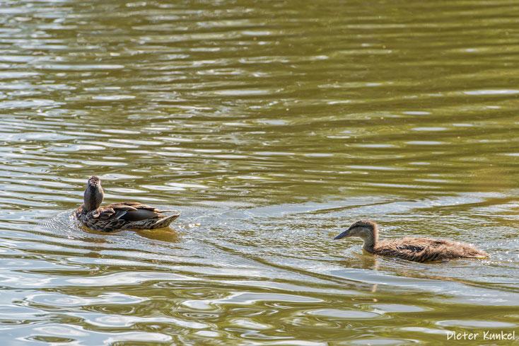 Alfred sucht Anschluss ... allerdings bei der falschen Ente.