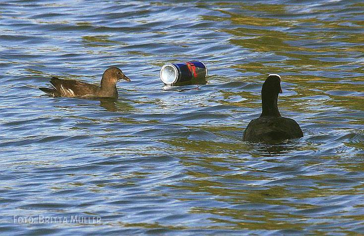 ein Getränkedose schwimmt im Lebensraum der Wasservögel