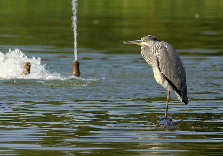 Graureiher steht auf einem Schlauch im Wasser