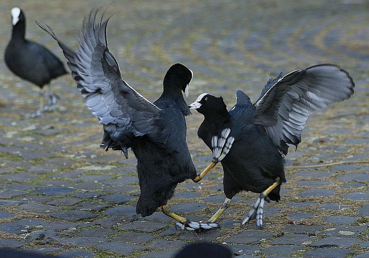streitende Blesshühner