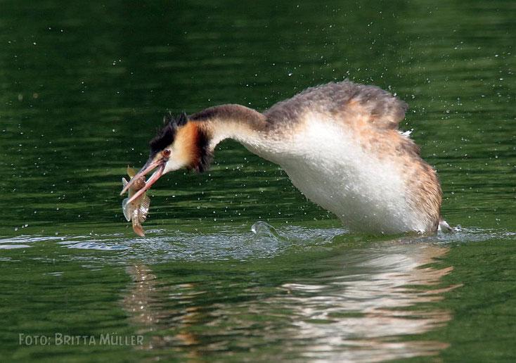 Haubentaucher mit frisch gefangenem Fisch