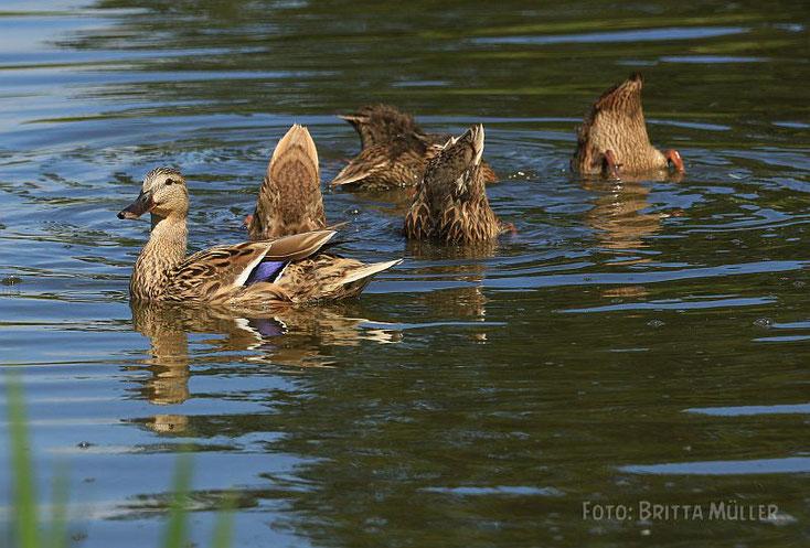 Entenmutter mit ihren 5 Küken