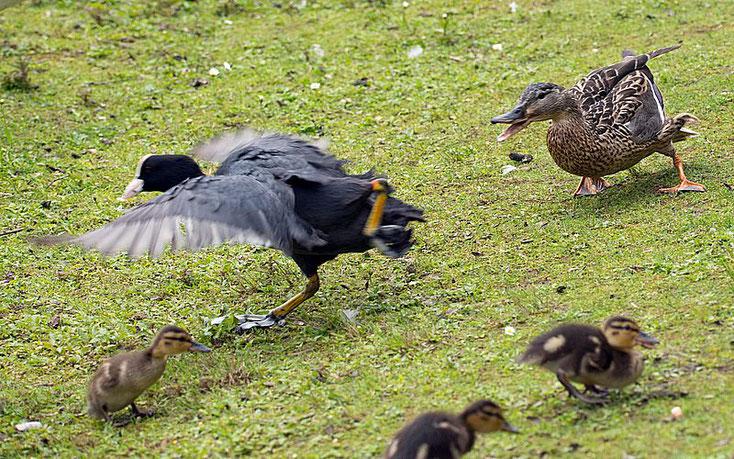 Die Entenmutter lässt sich nichts gefallen. Das Blässhuhn muss flüchten.