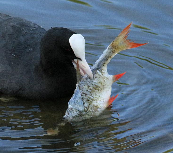 Blesshuhn mit Fisch im Schnabel