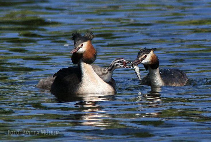 Ein Elternteil füttert das Küken mit Fisch, der andere hält es warm und sicher im Gefieder.