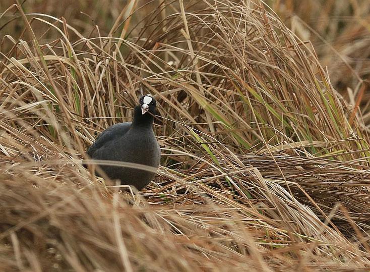 Das Blesshuhn testet die Beschaffenheit von Nestbaumaterial im Schilf.