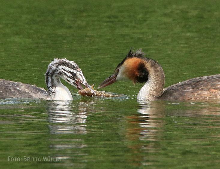 Haubentaucher Elternteil übergibt Fisch an seinen Nachwuchs