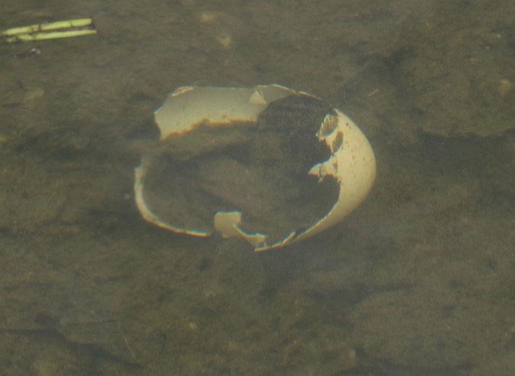 Ein zerstörtes Ei ... zum Glück war noch kein weit entwickeltes Küken darin.