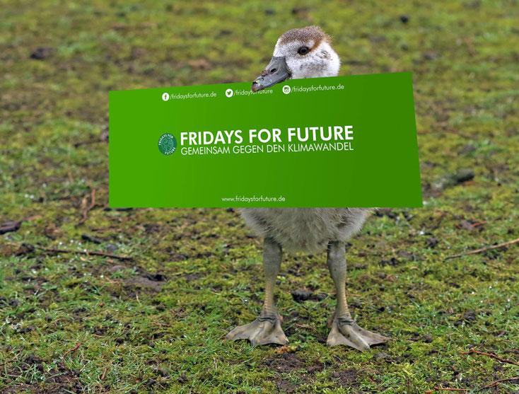 "Nilküken mit Transparent ""Fridays for Future"""