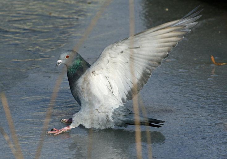 Taube landet auf Eis