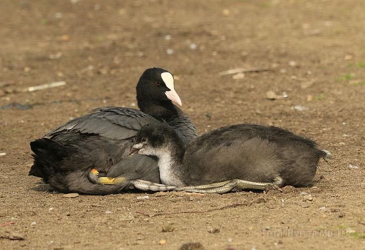 Entspanntes Familienleben bei den Blässhühnern.
