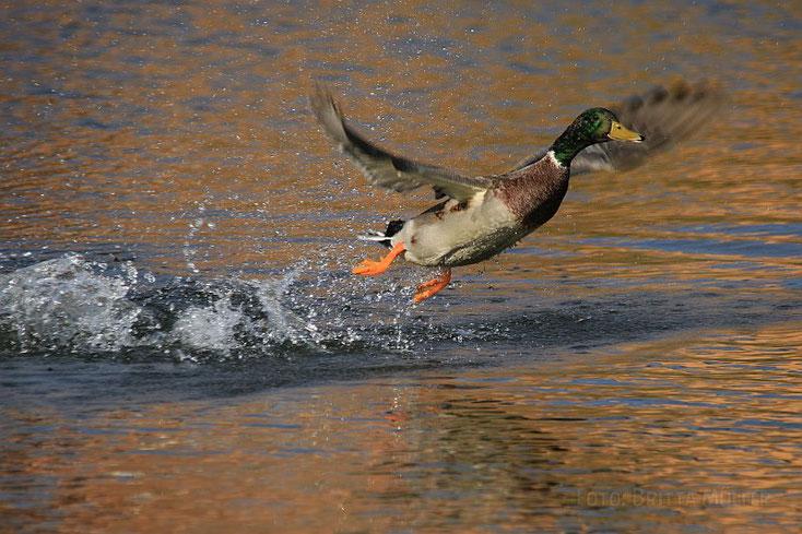 Knapp über dem Wasser fliegender Stockerpel