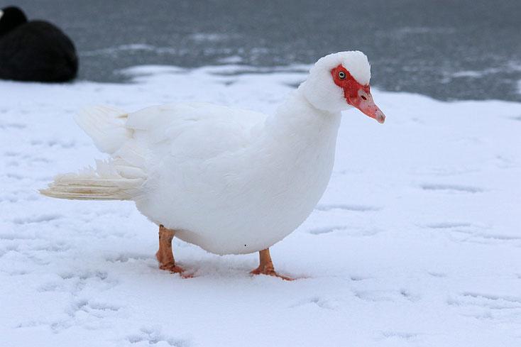weiße Ente auf weißem Schnee