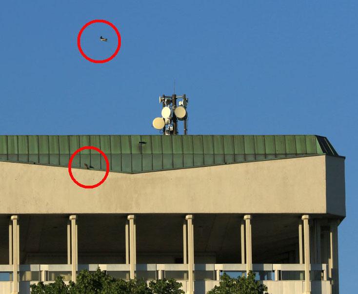 Seit einigen Wochen halten sich 2 Wanderfalken am Rathaus Turm 2 auf.
