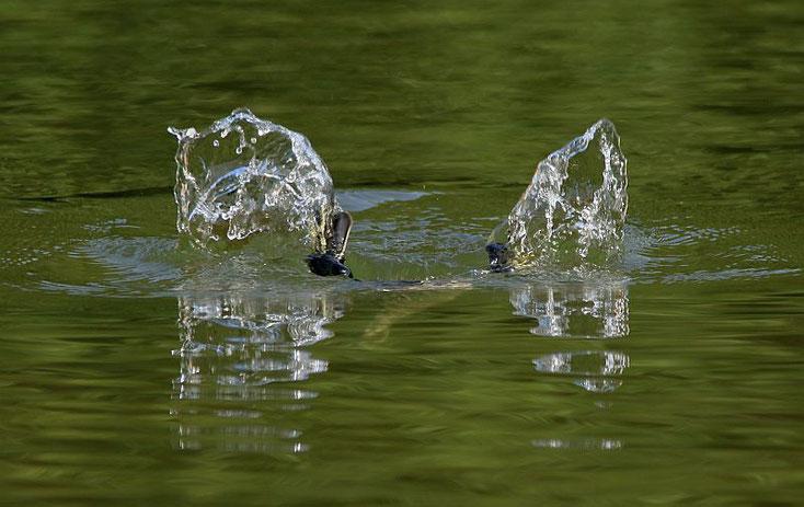 kleine Haubentaucherfüße ragen aus dem Wasser