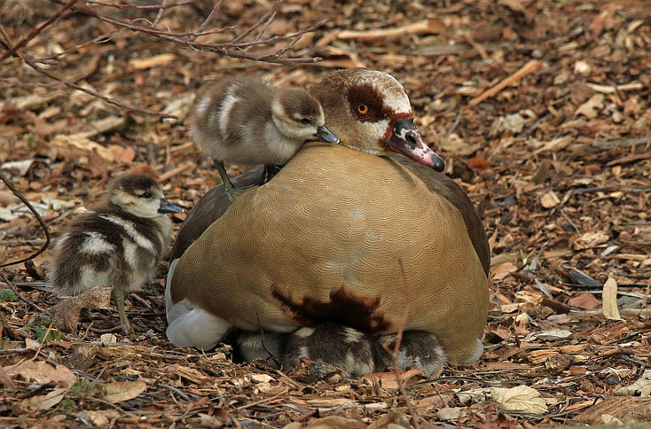 Mama hält die Küken warm uns sicher unter ihren Fittichen.