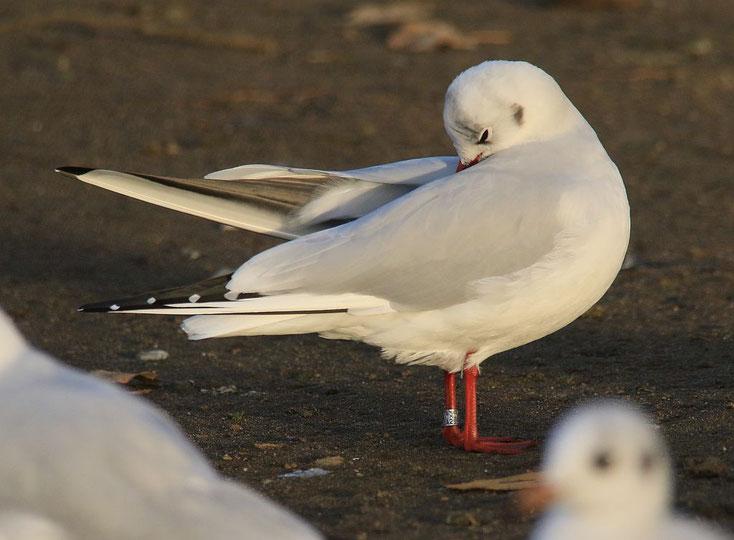 Lachmöwe mit Ring der Vogelwarte Litauen