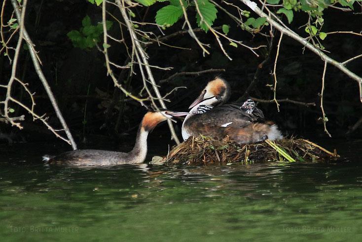Familie Haubentaucher auf dem Nest