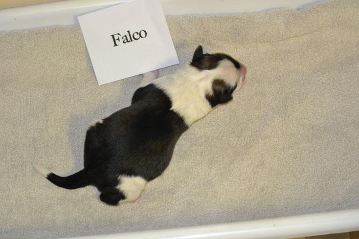 Falco van de Nijenhaer