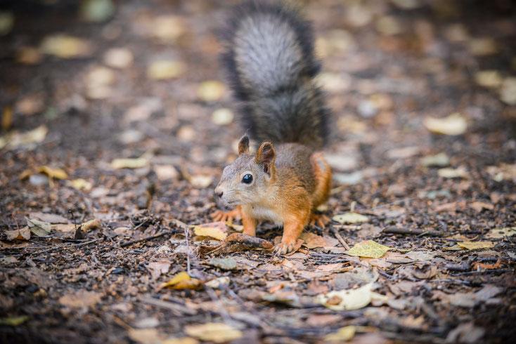 Eichhörnchen sind im Nationalpark Harz Zuhause