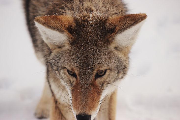 Der Wildtierbestand hat sich im Harz sehr gut erholt