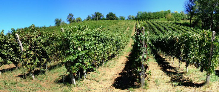 Vineyards, harvesting