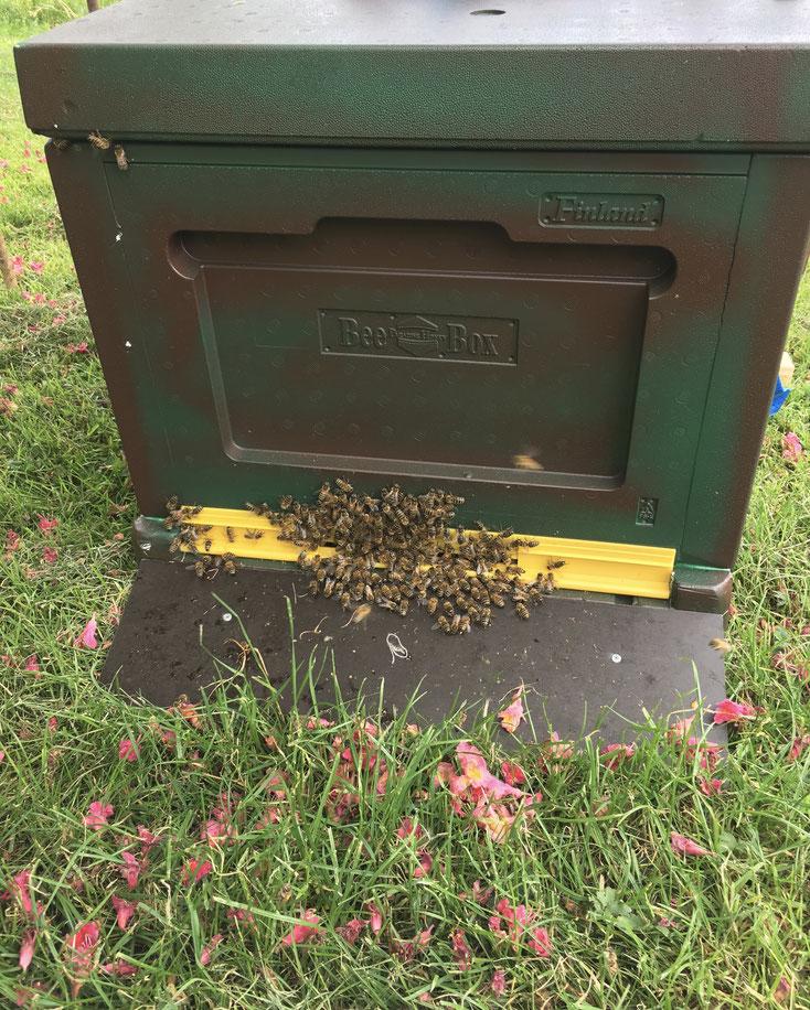 Ein Schwarm freut sich über das neue Zuhause, eine BeeBox Dadant US Modifiziert Beutet von BienenPro
