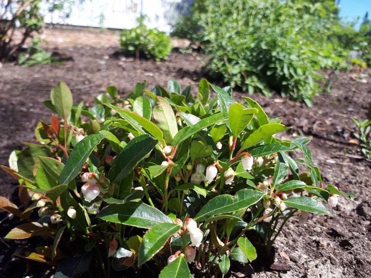Un plant de thé des bois en fleurs