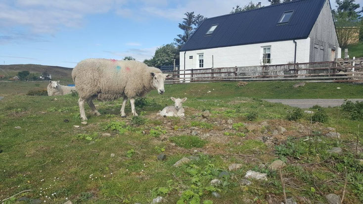 NC500 Sheep and Lambs