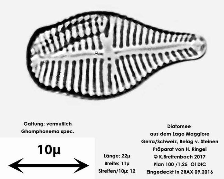 Bild 33 Diatomee aus dem Lago Maggiore/Gerra Schweiz, Gattung vermutlich Ghomphonema spec.