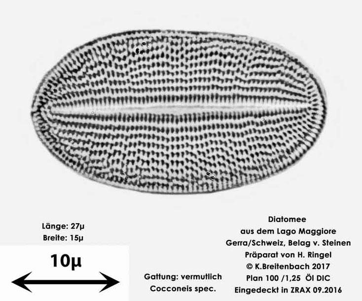 Bild 45 Diatomee aus dem Lago Maggiore/Gerra Schweiz, Gattung vermutlich Cocconeis spec.