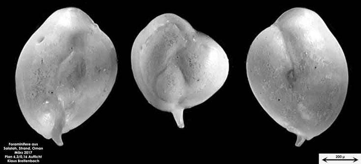 Bild 5 Foraminifere vom Strand in Salalah, Oman Gattung: Quinqueloculina sp.