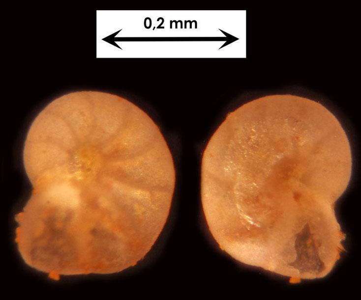 Foraminifere aus Waldlaubersheim vermutlich Lenticulina spec.