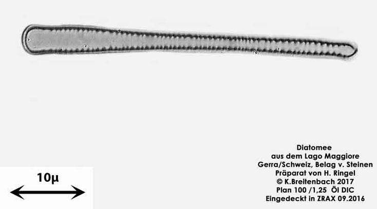 Bild 39 Diatomee aus dem Lago Maggiore/Gerra Schweiz, Gattung mir unbekannt