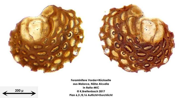 Bild 27 Foraminiferen aus Mallorca; Gattung Sorites spec.