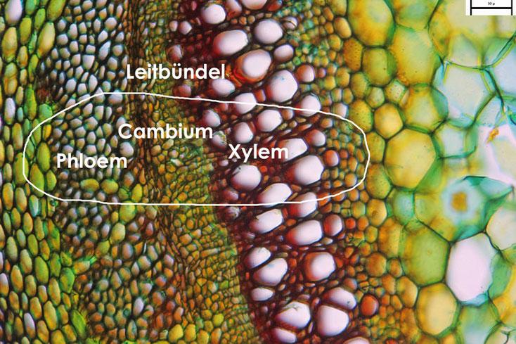 Bild 2 Beifußspross Querschnitt Teilbereich, Leitbündel