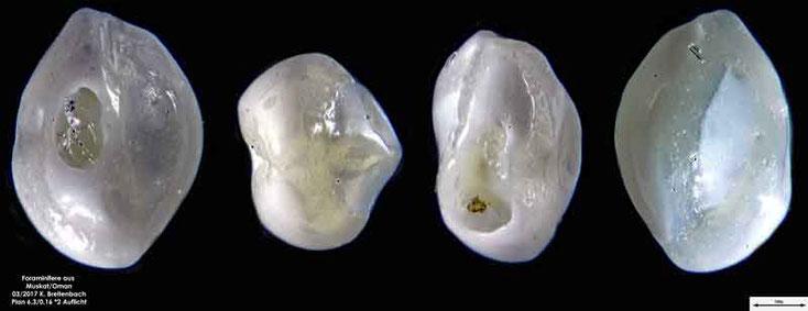 Bild 6 Foraminiferen aus dem Oman, Strand von Muskat. Gattung: Triloculina sp.