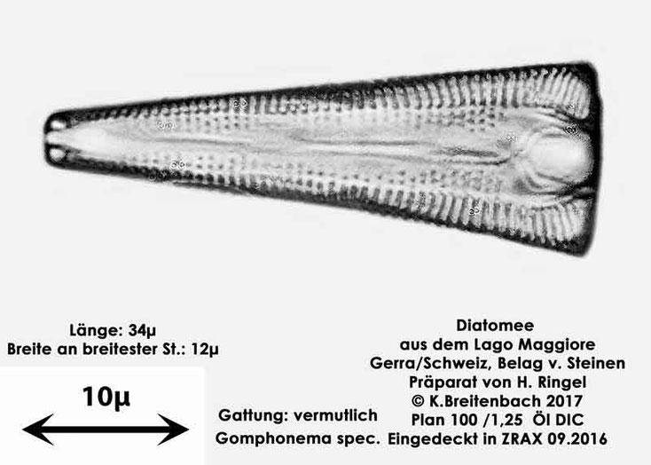 Bild 34 Diatomee aus dem Lago Maggiore/Gerra Schweiz, Gattung vermutlich Gomphonema spec.