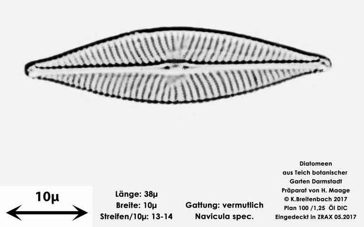 Bild 19 Diatomee aus dem botanischen Garten in Darmstadt, Gattung: vermutlich Navicula spec.
