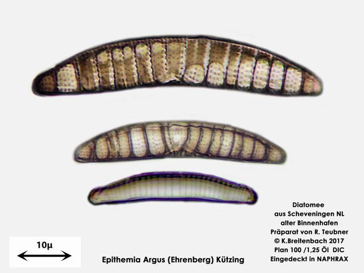 Bild 6 Diatomeen aus Scheveningen NL, Art vermutlich Epithemia argus (Ehrenberg) Kützing