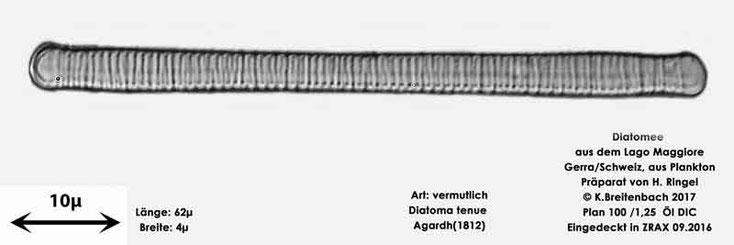 Bild 9 Diatomee aus dem Lago Maggiore/Gerra Schweiz, Art vermutlich Diatoma tenue Agardh (1812)