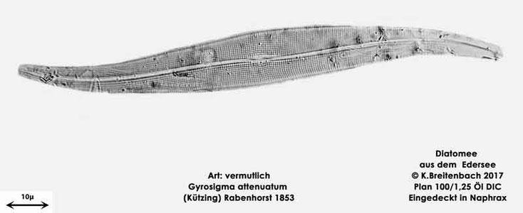Bild 22 Diatomeen aus dem Edersee, Art: vermutlich Gyrosigma attenuatum (Kützing) Rabenhorst 1853