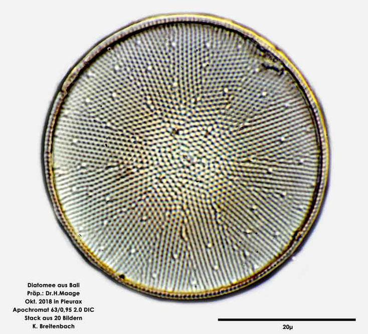 Diatomee aus Bali; Art: Actinocyclus ehrenbergii Ralfs in Pritchard 1861