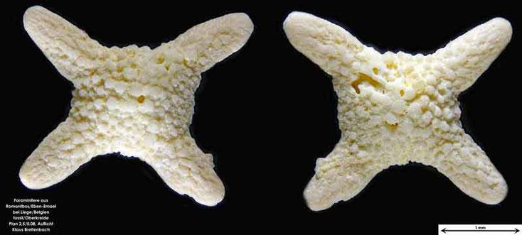 Foraminifere fossil aus Romontbos bei Eben-Emael. Art: Siderolites calcitrapoides Lamarck in Fujas de Saint Fond (1801)